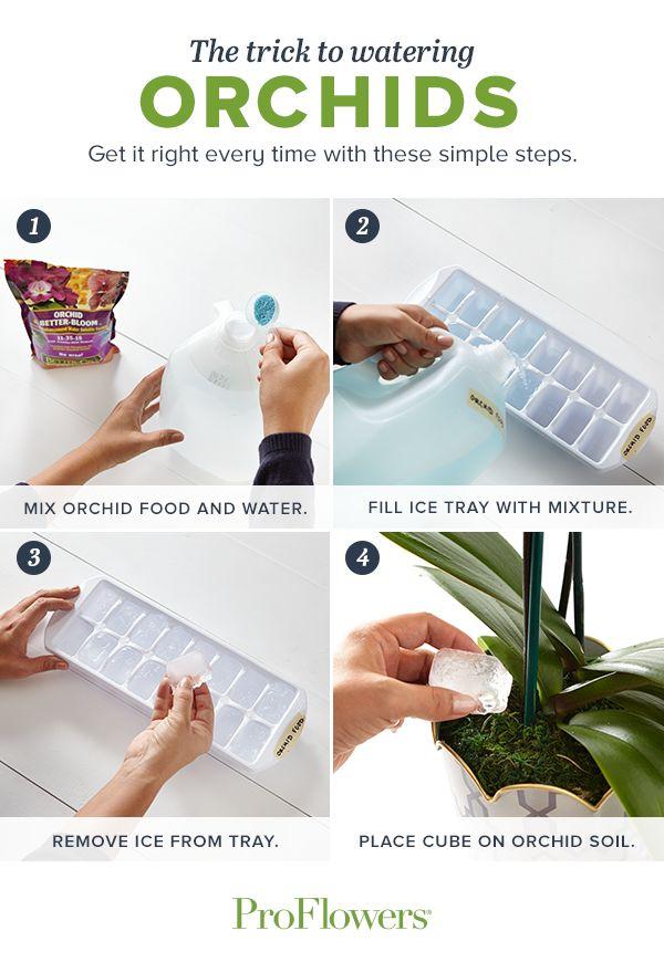 Tipp für Wässern und Düngen von Orchideen per Eiswürfel