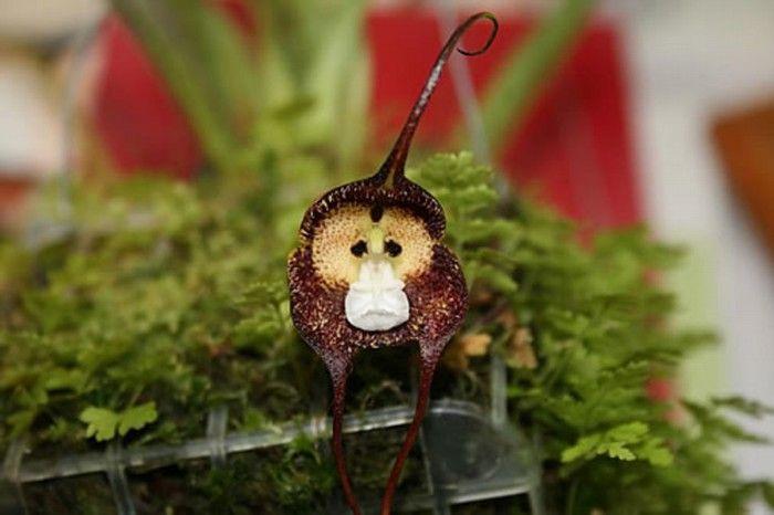 A Orquídea Macaco (Dracula simia) é nativa das florestas do Equador. Pode florescer o ano inteiro e tem aroma de laranja madura.