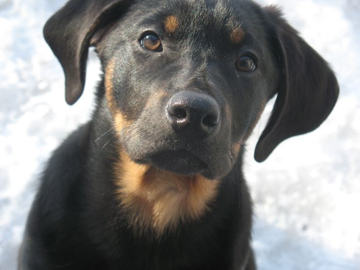Black and tan Catahoula hound puppy | InSpiRaTioN | Pinterest