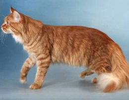#MaineCoon #Red #RedMackerel #Cats