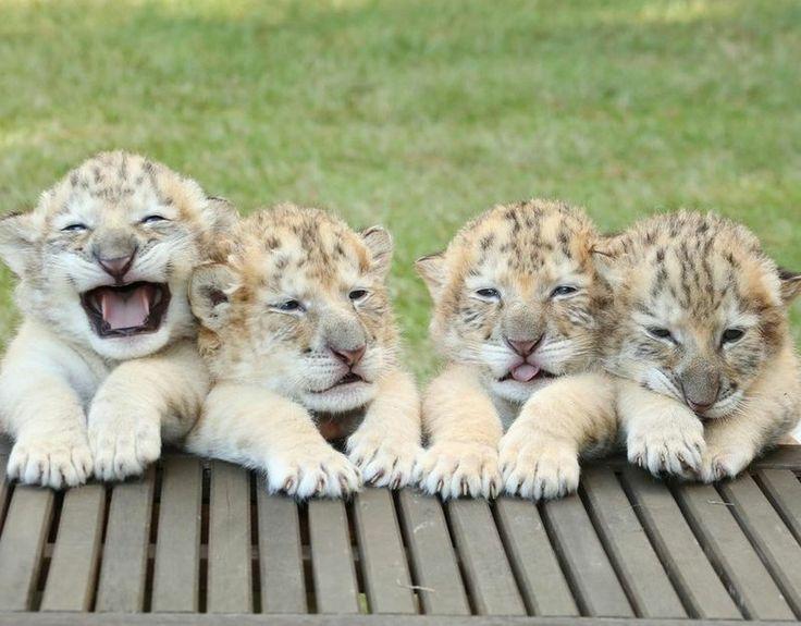 Ontmoet hier 's werelds eerste 'liger'-welpjes, een kruising tussen een witte leeuw en een witte tijger.                                    ...
