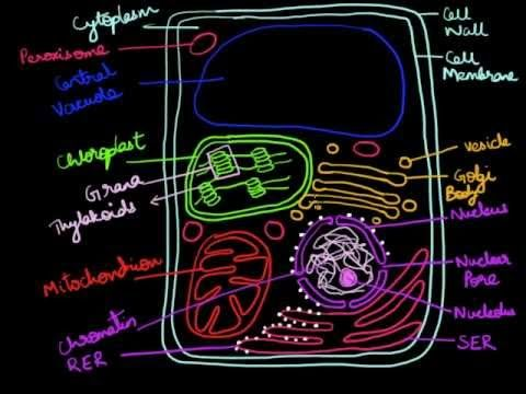 This video describes how to draw and label a typical plant cell in a step-by-step manner. Check out http://eacharya.tumblr.com for more!
