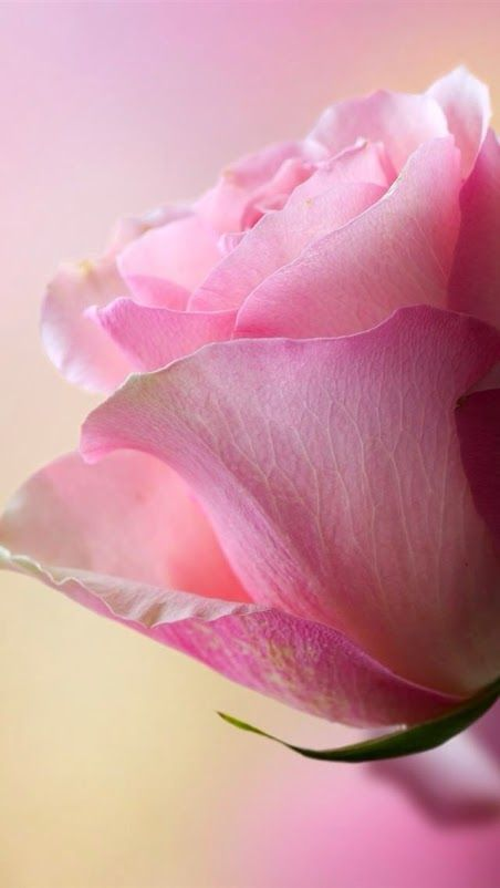 OCTOBER ROSE - the global campaign against breast cancer.