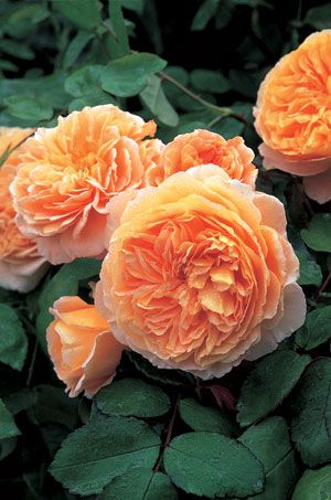 'Crown Princess Margareta'  David Austin Rose. I have this one and it smells so lovely.