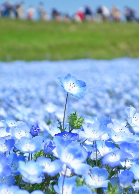 Share from UPLO: A Baby Blue Eye by ©Stone River #flower #macro #blue #nemophila #nature #landscape #japan