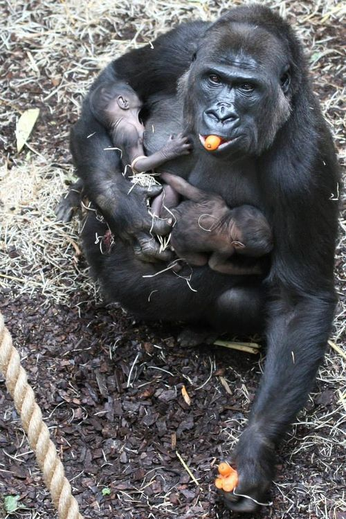05-Surprise at Burgers' Zoo. On June 13, 2013, Gayla, the 20-year-old female Gorilla, had delivered twin babies / Zoo Arnhem / Holland.