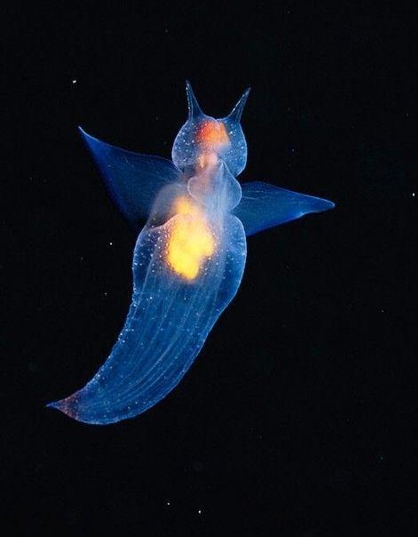 sea butterfly octos underwater life underwater ocean