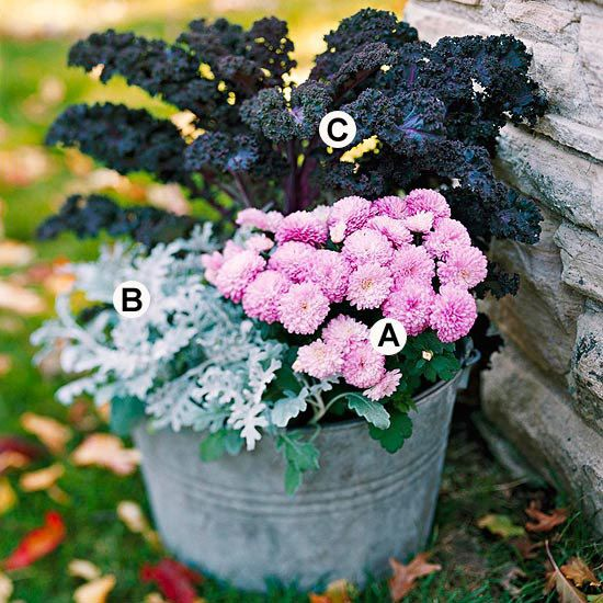 Go Bold with Color  Reds, oranges, browns, and yellows fill the fall landscape. Add color and contrast with pink, blue, or silver flowering container plantings!    A. Pink mum (Chrysanthemum 'Soft Cheryl') -- 1    B. Dusty miller (Senecio cineraria) -- 3    C. Purple kale (Brassica 'Redbor') -- 1