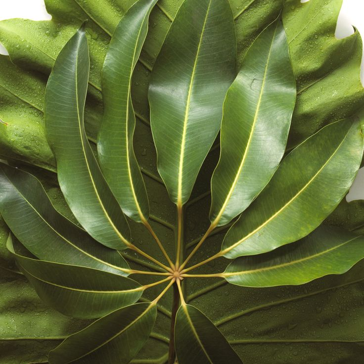 Umbrella Plant Toxic: Best 25+ Umbrella Tree Ideas On Pinterest