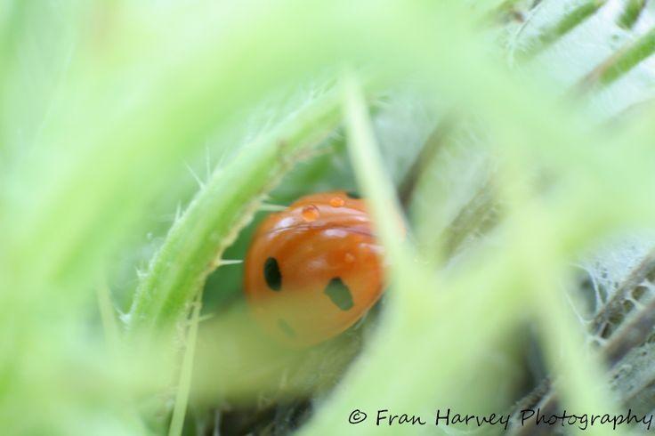 Ladybird hiding from the rain