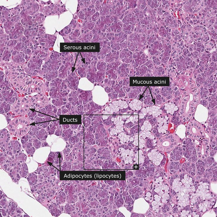 parotid gland histology | salivary gland the major salivary glands are the paired parotid ...