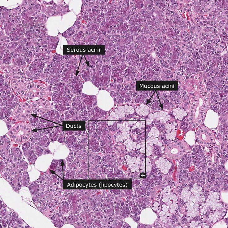 Salivary Gland Histology