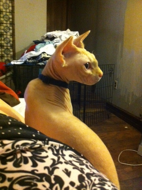 Richard Parker our Sphynx cat looking very handsome.: Sphynx Cat