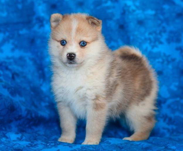 What does a Pomsky look like? | Pomsky Dogs and Puppies | Dog Breeds Journal