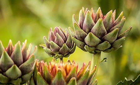 Artischockenextrakt – Die Wirkung eines alten Heilmittels
