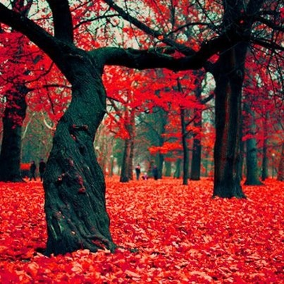 The Crimson Forest in Gryfino, Poland.......: Fall Beautiful, Fall Flowers, Crimson Forests, Natural Beautiful, Red Leaves, Pretty Colors, Inspiration Pictures, Places, Poland