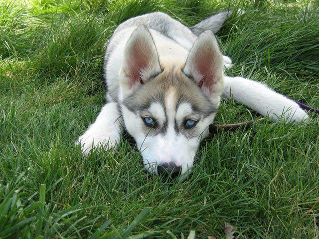 Siberian Husky puppy lying on grass.