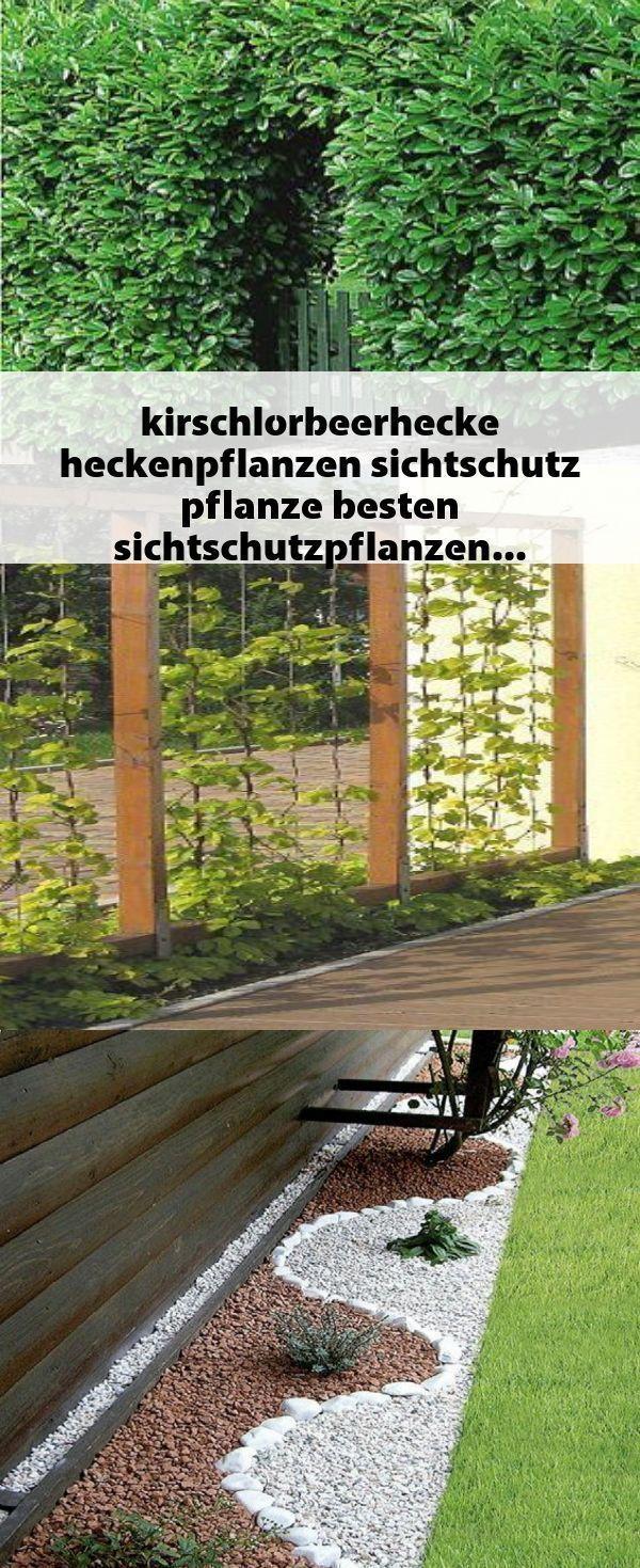 Kirschlorbeerhecke Heckenpflanzen Sichtschutz Pflanze Besten