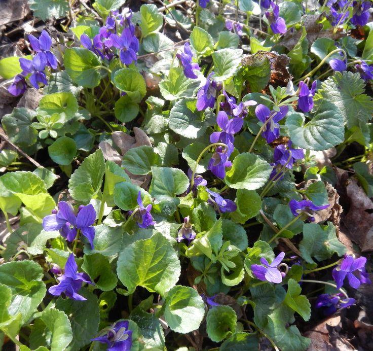 Maartse viooltjes, Warmond