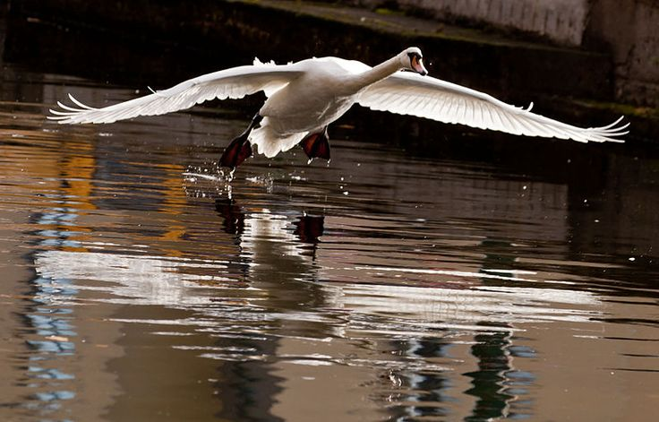 Файл: Cygnus Olor Грандиозный канал, Дублин, Ирландия -landing-8 (2) .jpg