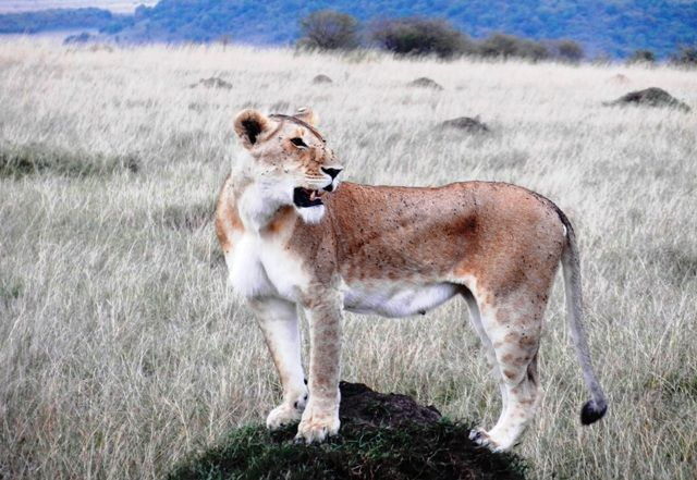 Masai Mara lion - Top 5 best places to see lions in Africa  #luxury #safari #conservation