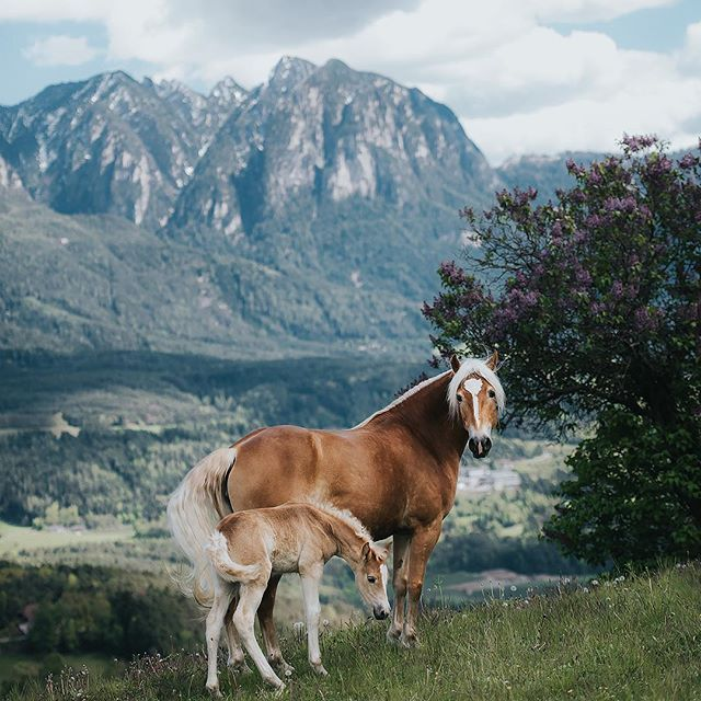I'm so excited to return to South Tyrol this summer. This time it will not only be me and @tussochtass but also participants on our combined workshop/photo tour. If you would like to join us, there is still spots available :) . Find out more information on my website: equinebywengdahl.com . Last time we were there was in early May, unfortunately it was still pretty cold and snow on the higher altitudes. That meant most of the horses were still home on the farms. But next time will be summer