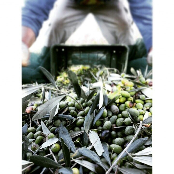 Agriturismo La Valentina in Talamone, Toscana - Raccolta delle olive #organicfarm #biologico #olio #oliobiologico #aziendabiologica #agriturismolavalentina