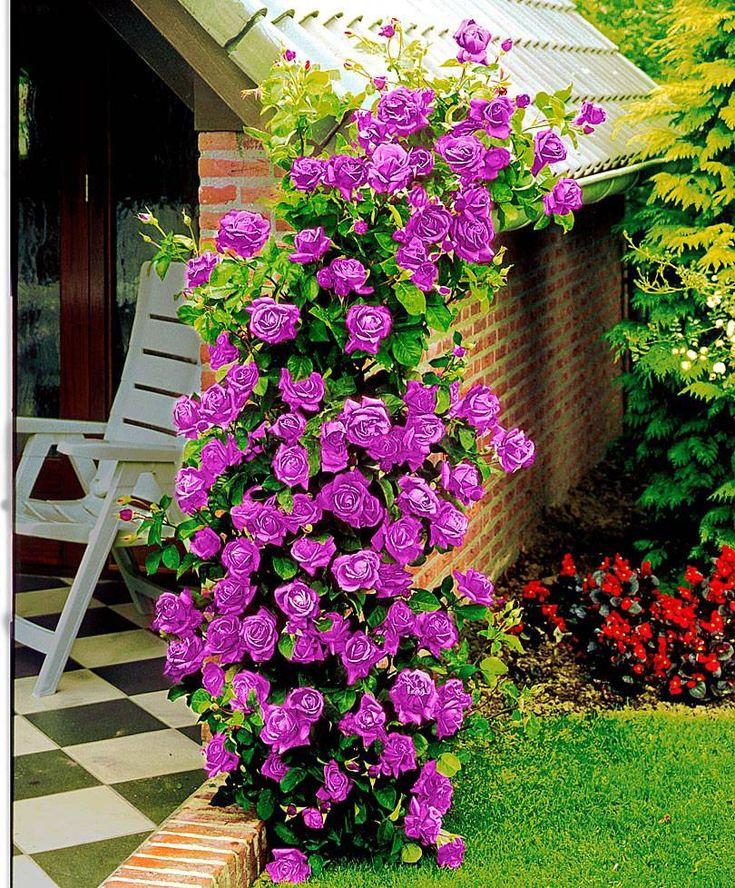 самые простые плетистые розы фото и названия какими