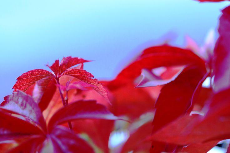 Röda vackra blad.