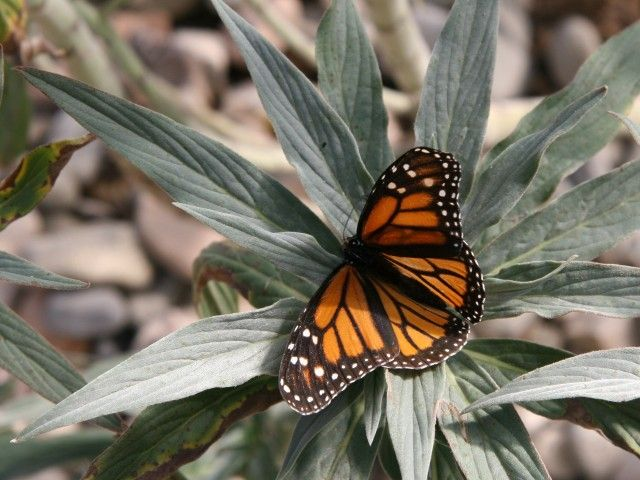 Just Opened: The Dorcas E. Utter Memorial ButterflyPavilion | San Diego | Interact with San Diego native and endemic butterfly species at this cool new butterfly pavilion in El Cajon. On April they will have their first BUTTERFLY FESTIVAL!