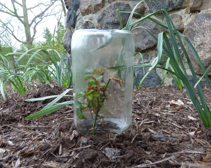 One way to propagate roses is from rose cuttings taken from the rose bush one desires to have more of. Read this article to learn more about how to root roses.