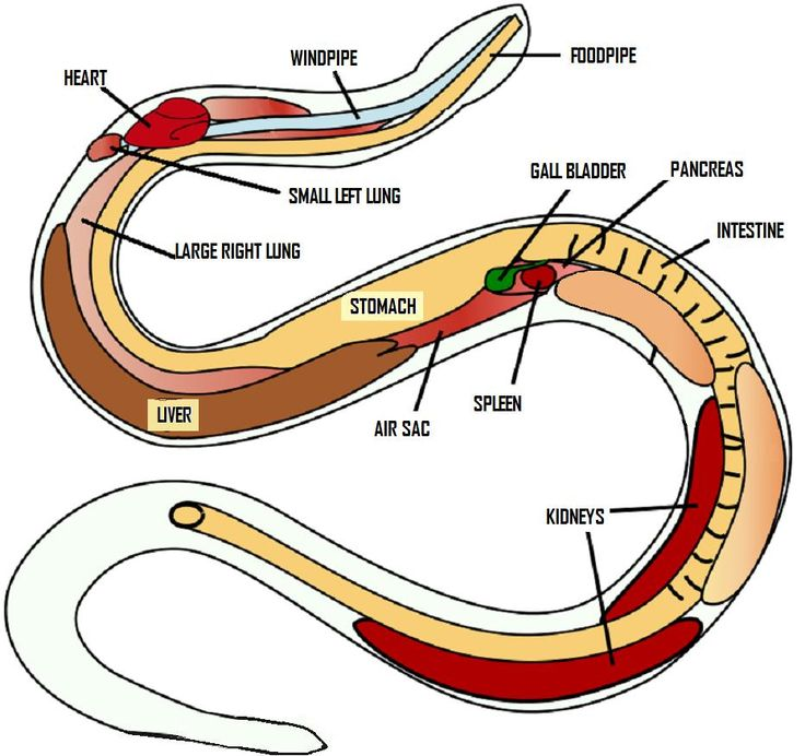 anatomy of a snake