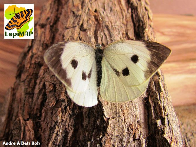 The cabbage white butterfly #LepiMAP - mapping the butterflies of Africa