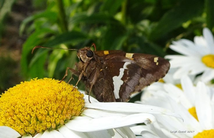 OK, the first couple of shots were lucky. But now shes just posing for me :) #daisy #butterfly #macro #nature #gardening
