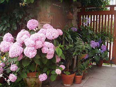 Jako všichni milovníci květin si i čtenářka užívá možnost seskupovat jednotlivé druhy k sobě tak, aby vytvářely hezké barevné kombinace. Hortenzie tak doplnila fuchsiemi, kalokvětem a tabákem.