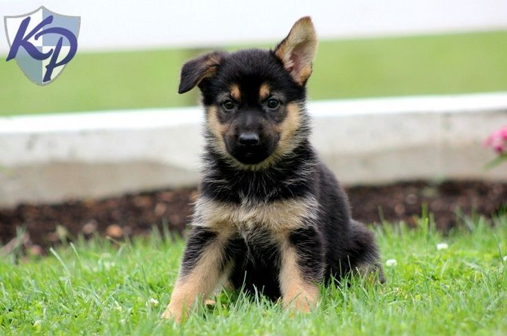 Jade German Shepherd Puppies For Sale In Pa Keystone Puppies Puppies Puppy Finder Buy A Dog