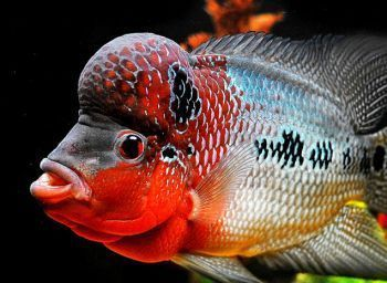 Flower horn fish, a rare variety of ornamental fish