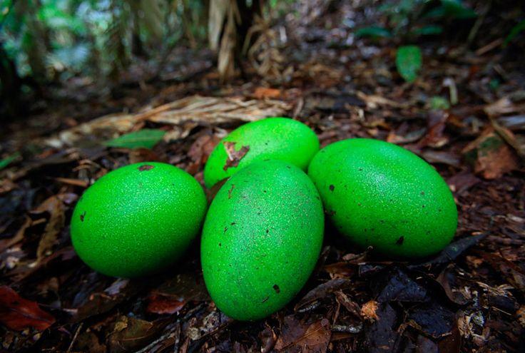 Christian Ziegler shot this clutch of Cassowary eggs