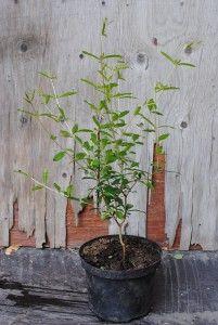 Granaattiomena - Punica granatum  Trooppiset hyötykasvit huonekasveina - kasvit ovat kaupasta ostettujen hedelmien siemenestä kasvatettuja.