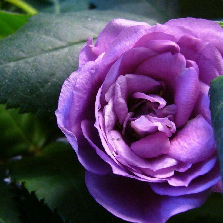 17 Best Images About Purple Flowers On Pinterest