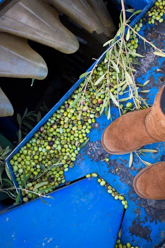 Olive harvesting at California Olive Ranch - Great photo from Stephanie at Lick My Spoon!