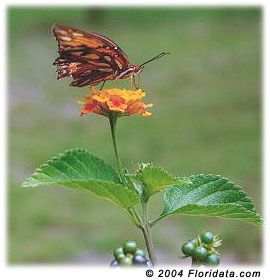 Lantana is extremely easy to grow requiring little attention and is seldom bothered by pests or disease. It has low water requirements and can be used in xeriscapes and can handle the heat growing in containers and hanging baskets under sunny conditions. Lantana is a favorite species for butterflies and non-invasive lantanas should be a part of any butterfly garden.