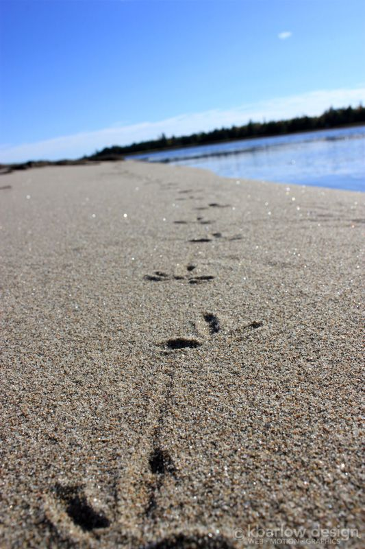 sandpiper tracks: Kouchibouguac National Park