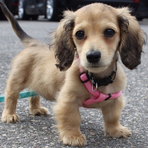 The Most Adorable Little Fluffy Baby Dachshund Puppy Out I Amazon Com Movtba Animal Dog Dachshund Fluffy In 2020 Dachshund Puppies Baby Dachshund Kittens And Puppies
