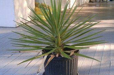 Растение Юкка с описанием и фото - выращивание дома, размножение, полив и лечение болезней
