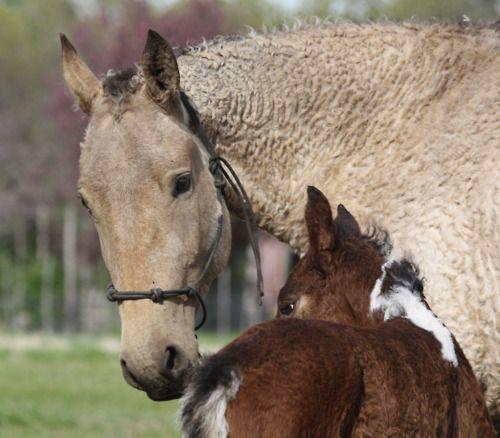 Bashkir Curly Horses :)