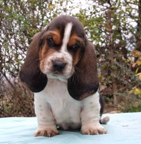 Beautiful Wolfbear Chubby Adorable Dog - f0e6577c823bc59e0db8968cedce8a8a--basset-hound-puppy-hound-puppies  You Should Have_65126  .jpg