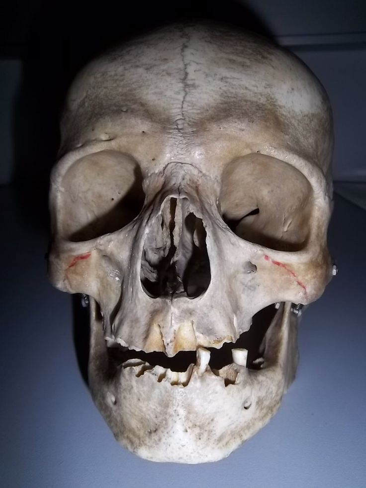 25+ best ideas about real human skull on pinterest | human skull, Skeleton