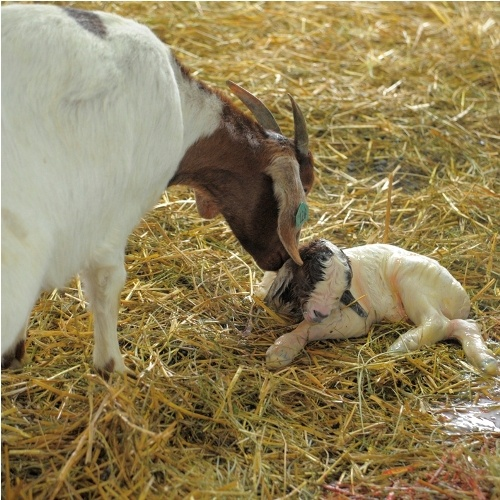 70 best images about Boer Goats on Pinterest | Baby goats ...