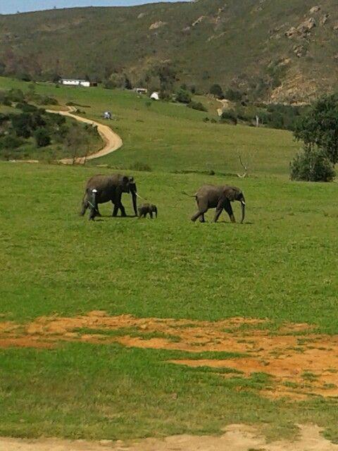 Elephants @Botlierskop, Mosselbay, South Africa